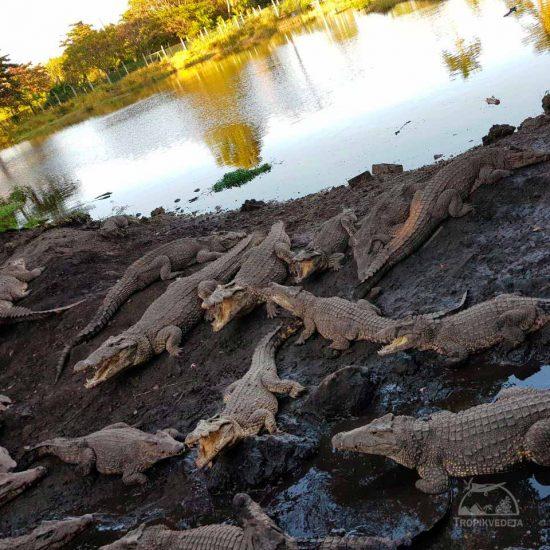 crocodile breeding - Ciénaga de Zapata